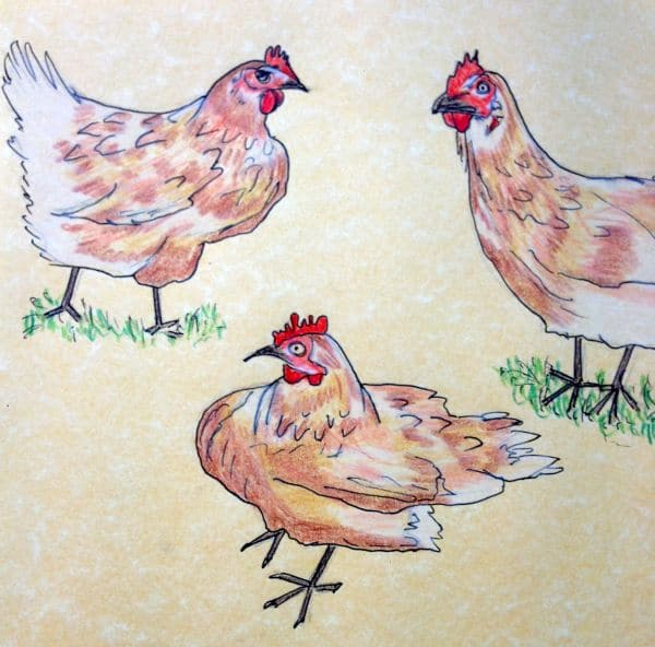 chickens drawing